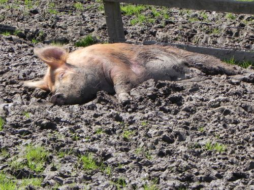 Happy as a Pig In.........!!