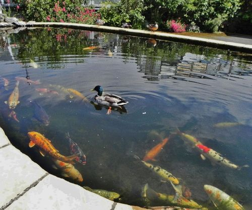 Duck On Fish Pond