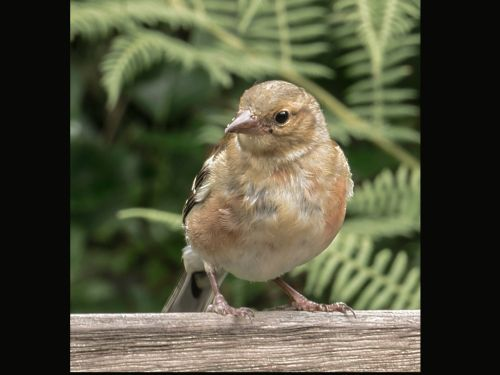 Lynton, Watersmeet. A young Chaffinch