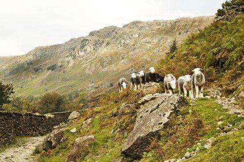 Far Easedale sheep 3