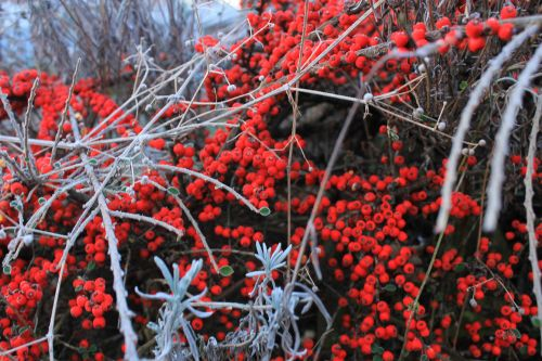 barnsleys winter berries