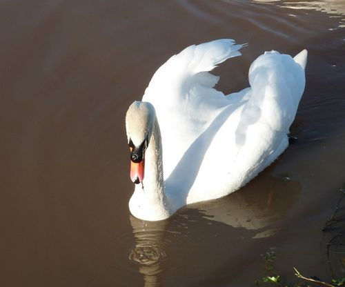 Swan on the canal