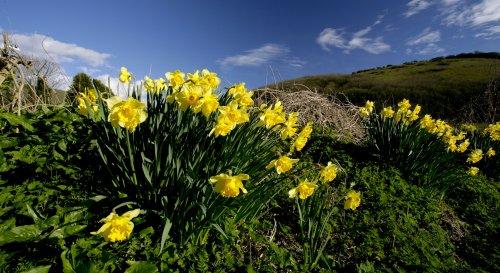 Village Daffodils
