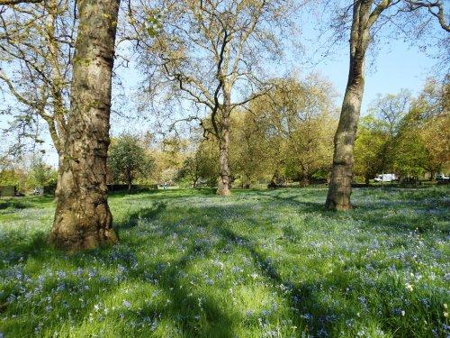 Bluebells, Hyde Park