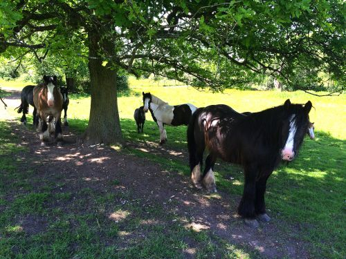 Horses Enjoying the Shade in Fields near Malvern Park,Solihull