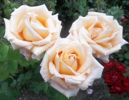 Another rose picture
