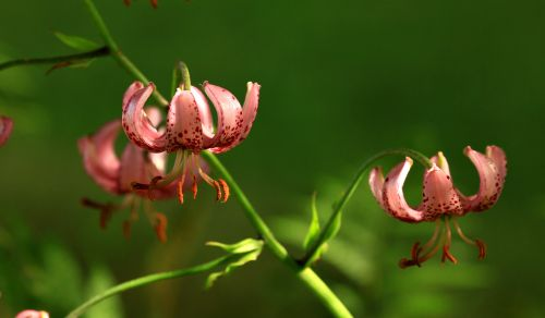 Radcliffe, Manchester,Turks Cap Lily, from my garden.