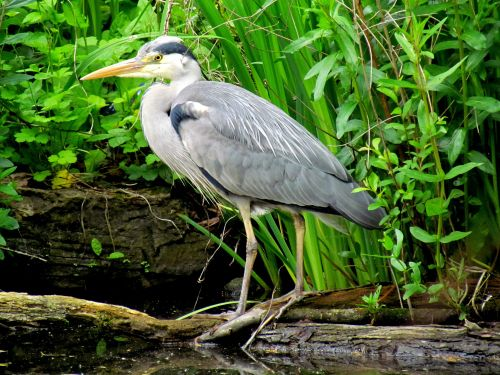 The Heron, Ruislip duck pond