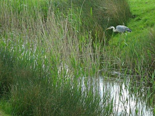 Heron. Rye Harbour Nature Reserve