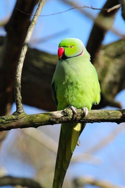 Perched Parakeet Danson Park