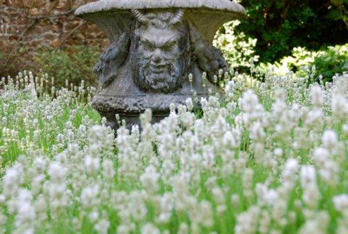 Lavender in the gardens of Athelhampton House