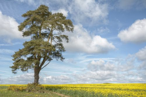 A Lone Pine Tree near Shipton-under-Wychwood, Oxfordshire