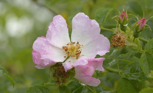 Dog Rose at Hillesden, Buckinghamshire