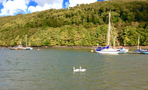Two swans on the river at Dartmouth