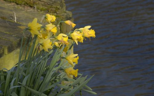 Daffodils at Bank Pool, Jodrell Bank, Cheshire