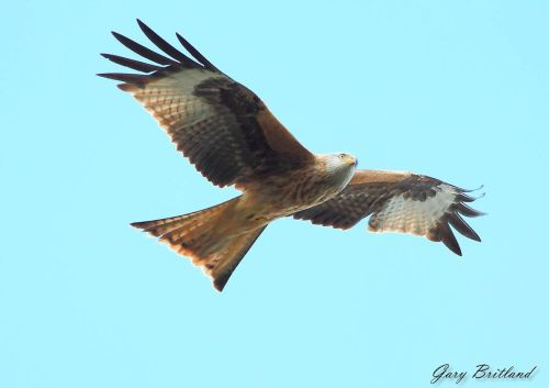 Red Kite in Harewood, Yorkshire