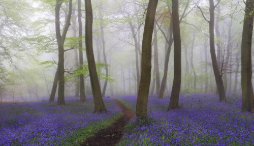Nettlebed Misty Bluebell Woodlands