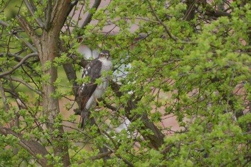 Sparrowhawk,Back Garden, Denton, Greater Manchester