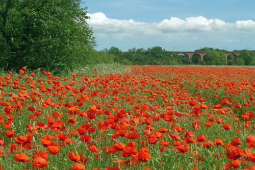 Poppies near Croxdale, County Durham