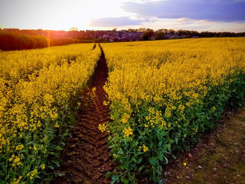 Andover Rapeseed Field