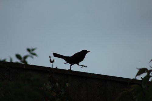 Strutting silhouette