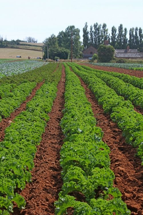Rows of Budleigh kale
