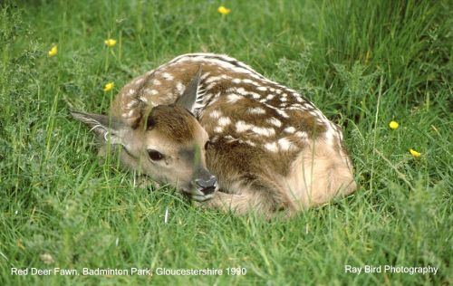 Red Deer Fawn, Badminton Park, Gloucestershire 1990
