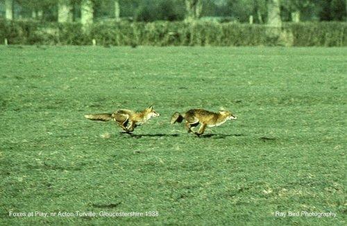 Vixen & Dog Fox at play, nr Acton Turville, Gloucestershire 1988