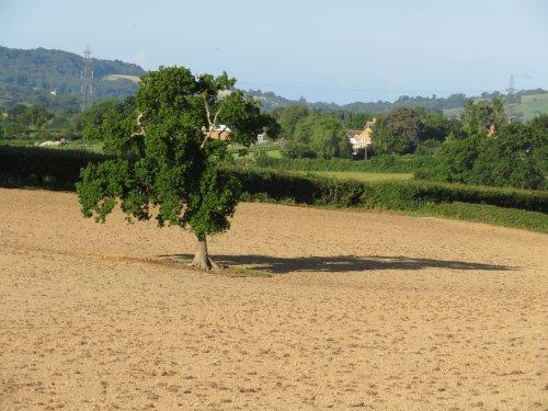 Brown field with tree near Pilsdon
