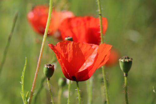Poppies in Welling