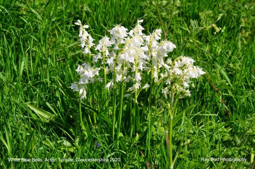 White Bluebells, Acton Turville, Gloucestershire 2020