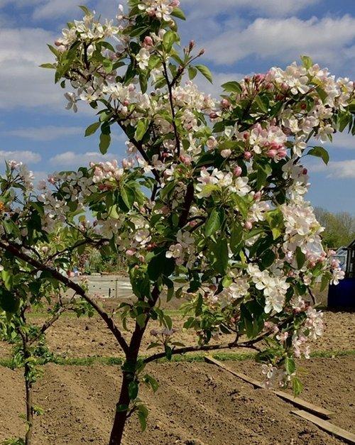 Apple tree at the Allottment.