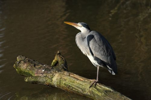 Heron resting by the old millstream at Caversham