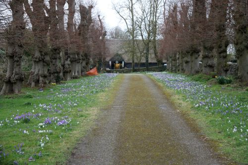 Spring crocuses brighten a dull day in Avebury