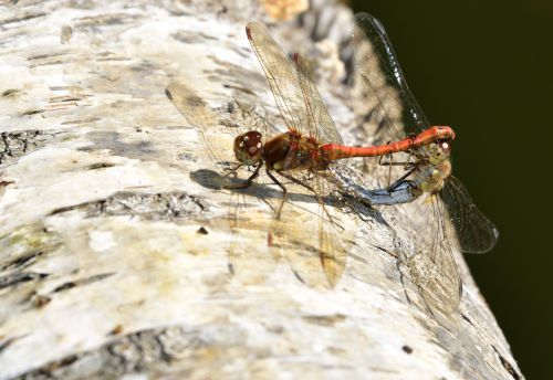 Common Darters (Sympetrum Striotatum) Mating at Whiteley Lake