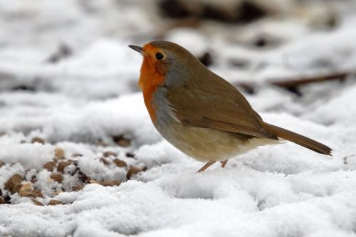 Robin the the snow