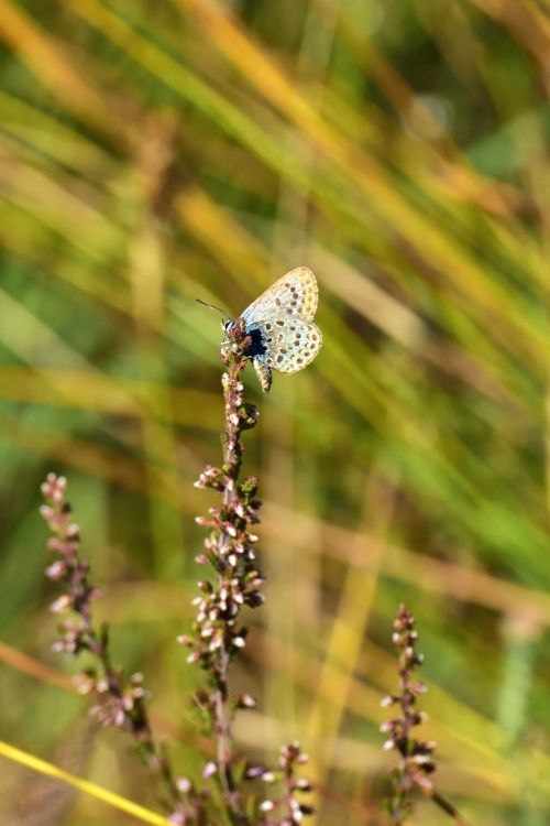 Silver-studded Blue (Plebejus Argus) Male on Sorrel at Thursley Common