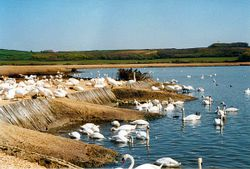 A picture of Abbotsbury Swannery