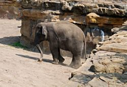 Elephant, Chester Zoo