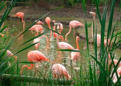 Flamingos, Chester Zoo