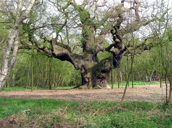 The Great Oak, Sherwood Forest. This huge tree is at least 800 years old