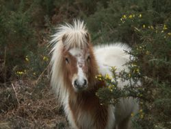 New Forest Pony, Lyndhurst