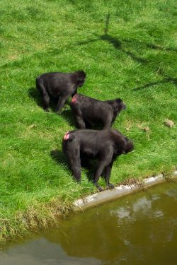 The Baboon family at Thrigby Hall, Norfolk