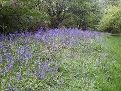 Bluebells. The Blackdown hills in the county of Somerset, England
