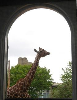 Giraffe, London Zoo