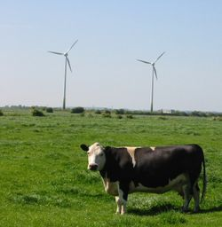 Small windfarm plus one cow, near Sutton-on-Sea, Lincolnshire