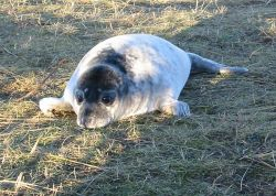 Donna Nook, Lincolnshire. December 2004, seal pup