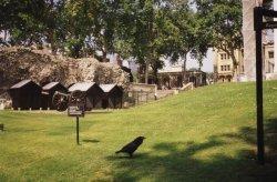 London - Tower of London - one of the seven legendary ravens. Wallpaper