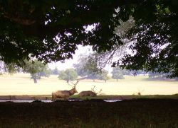 Woburn Deer Park, Woburn Abbey, Bedfordshire. August 2006