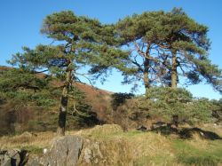 Pine trees near Torver, Cumbria.